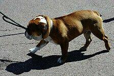 Formel 1 - Umgew�hnung eher Schuld als Hund: Hamilton und Lauda verteidigen Roscoe